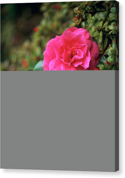 Andy Bloom Canvas Print - Camellia Flowers by Andy Williams/science Photo Library