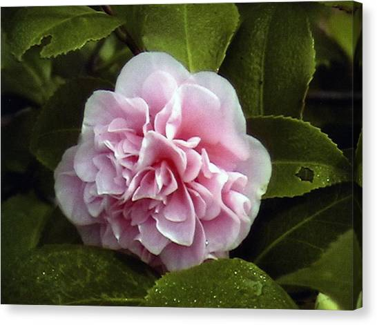 Camellia In Rain Canvas Print