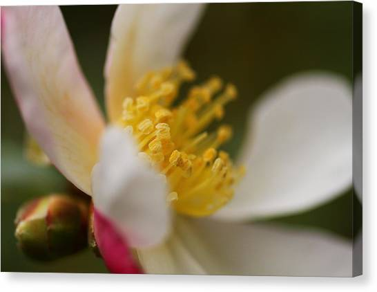 Camellia Canvas Print by Jacqui Collett