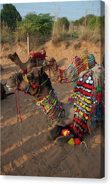 Thar Desert Canvas Print - Camels Before A Ride, Pushkar by Inger Hogstrom