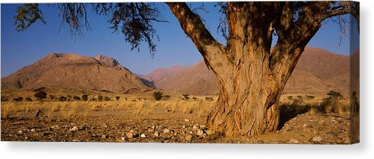 Namib Desert Canvas Print - Camelthorn Tree Acacia Erioloba by Panoramic Images