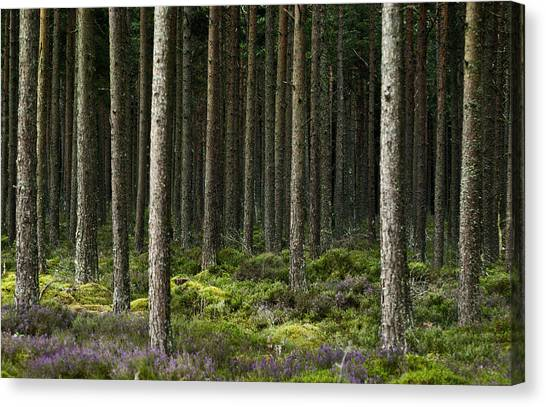 Camore Wood Scotland Canvas Print