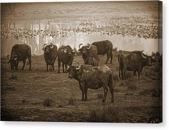 Can Not Roller Skate In A Buffalo Herd Canvas Print by Frank Feliciano