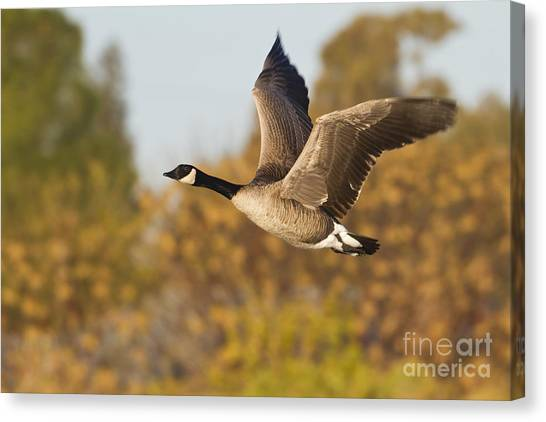 Canada Goose In The Skies  Canvas Print