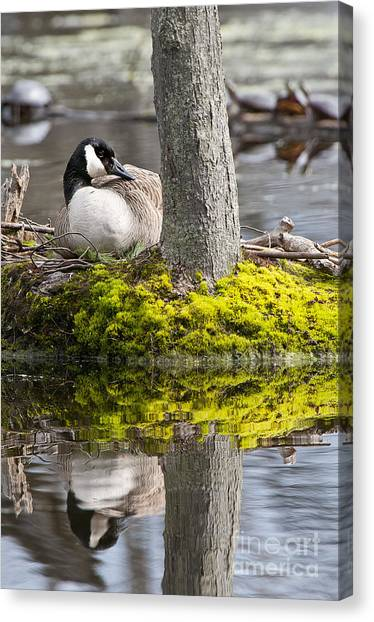 Canada Goose On Nest Canvas Print