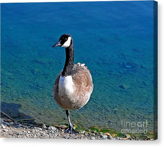 Canada Goose On One Leg Canvas Print
