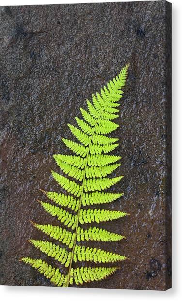 Cabot Trail Canvas Print - Canada, Nova Scotia, Cape Breton, Fern by Patrick J. Wall