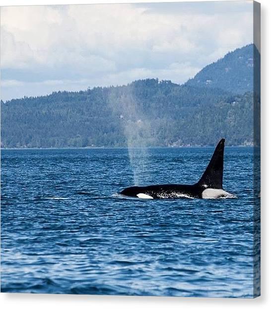 Orcas Canvas Print - #canada #orca #nofilter by Tim Erdmann