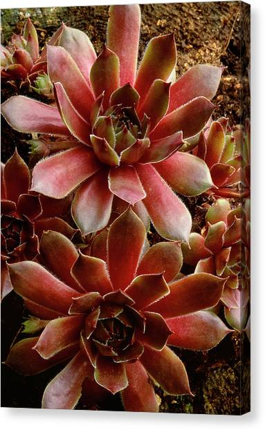 New Brunswick Canvas Print - Canada Succulent Plant Close-up Credit by Jaynes Gallery