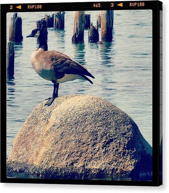 Geese Canvas Print - Canadian Goose On A Rock. #lakeathoe by Marguerite Spieker