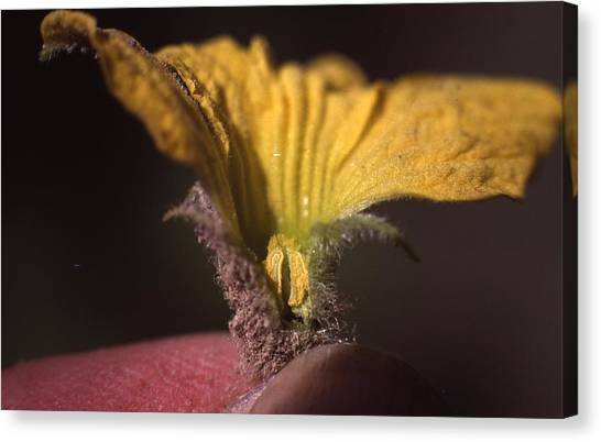 Cantaloupe Canvas Print - Cantaloupe Flower by Retro Images Archive