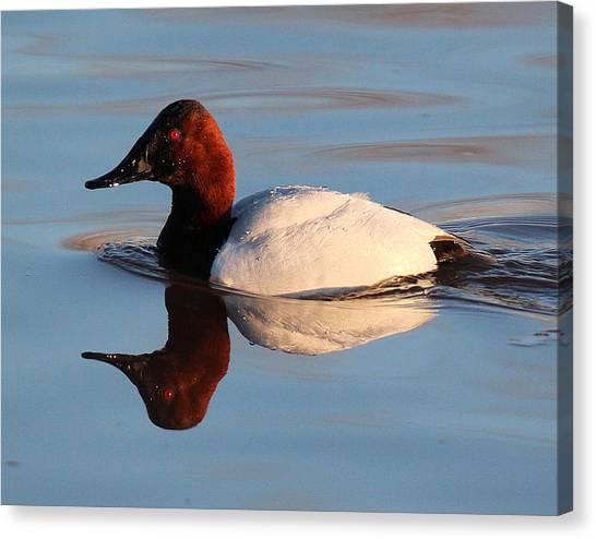 Canvasback Drake Reflection Canvas Print