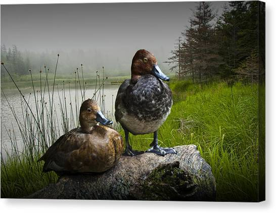 Canvasback Duck Pair By A Pond Canvas Print