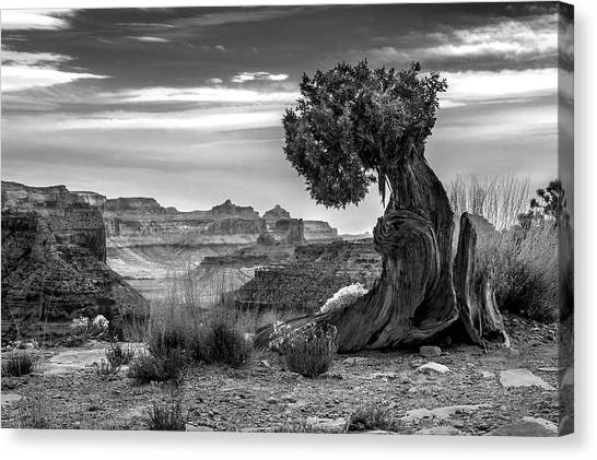 Canyon And Twisted Pine Canvas Print