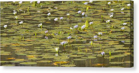 Cape Lily Canvas Print - Cape Blue Water-lilies Zimbabwe by Michael Durham