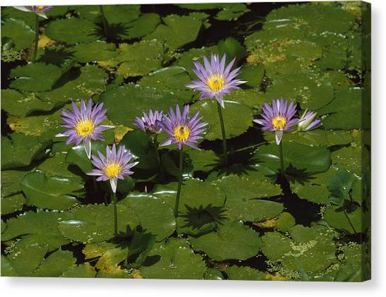 Cape Lily Canvas Print - Cape Blue Water-lily Group Blooming by Konrad Wothe