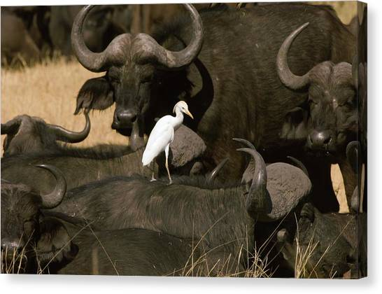 South Buffalo Canvas Print - Cape Buffalo And Cattle Egret by Dr P. Marazzi/science Photo Library