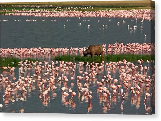 Flamingos Canvas Print - Cape Buffalo And Lesser Flamingos by Panoramic Images