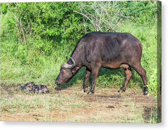 South Buffalo Canvas Print - Cape Buffalo With Her Stillborn Calf by Peter Chadwick/science Photo Library