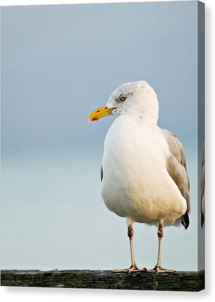 Cape Cod Seagull Canvas Print