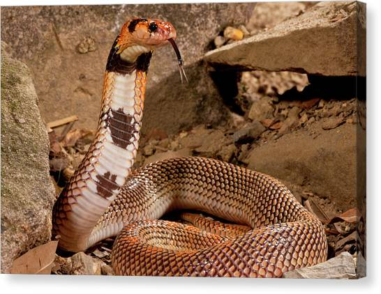 Coral Snakes Canvas Print - Cape Coral Snake Aspidelaps Lubricus by David Northcott