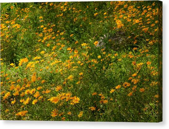 Cape Daisies Canvas Print