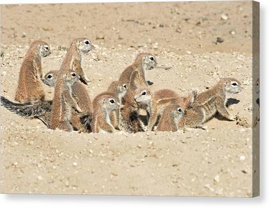Kalahari Desert Canvas Print - Cape Ground Squirrels In A Burrow by Tony Camacho