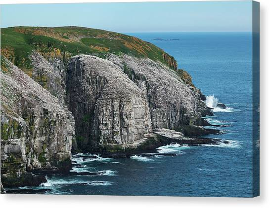 Newfoundland And Labrador Canvas Print - Cape St. Mary S Ecological Reserve by Carl Bruemmer