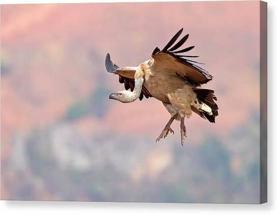 Vultures Canvas Print - Cape Vulture In Flight by Bildagentur-online/mcphoto-schaef