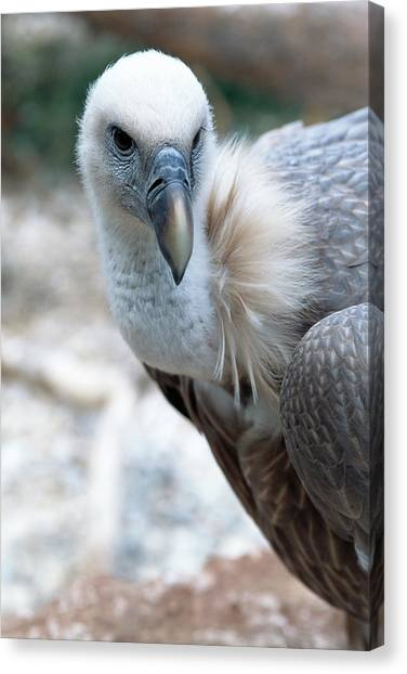 Griffons Canvas Print - Cape Vulture by Mauro Fermariello/science Photo Library