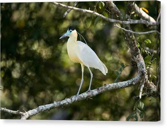 The Pantanal Canvas Print - Capped Heron Pilherodius Pileatus by Panoramic Images