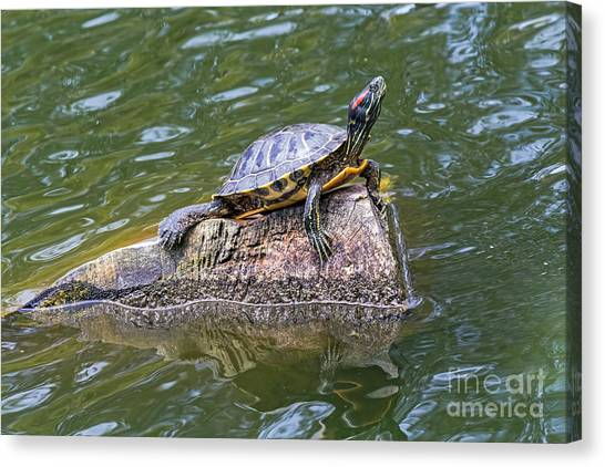Canvas Print featuring the photograph Captain Turtle by Kate Brown
