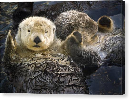 Otters Canvas Print - Captive Two Sea Otters Holding Paws At by Tom Soucek