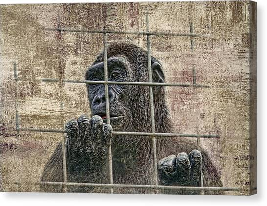 Ape Canvas Print - Captivity by Tom Mc Nemar