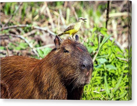 Flycatchers Canvas Print - Capybara And Cattle Tyrant by Paul Williams