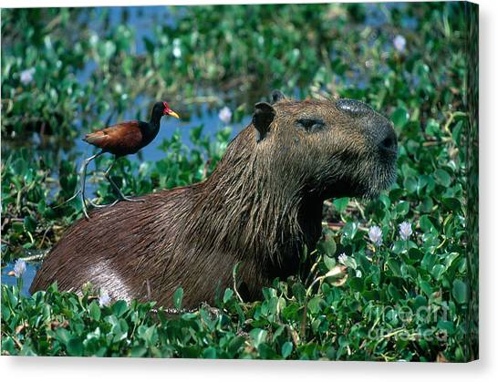 Venezuelan Canvas Print - Capybara And Jacana by Francois Gohier