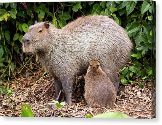 Capybara Suckling Canvas Print by Paul Williams