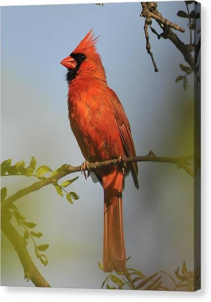 Cardinal 329 Canvas Print