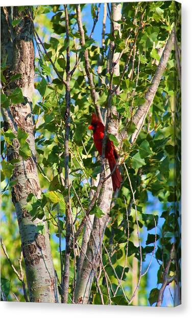 Cardinal Hidden Canvas Print