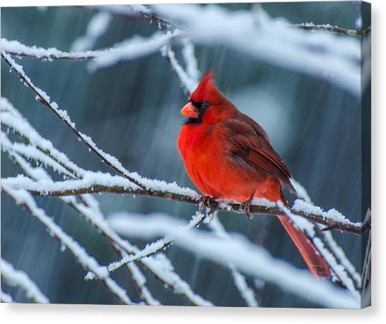 Cardinal In A Storm  Canvas Print