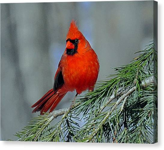 Cardinal In An Evergreen Canvas Print