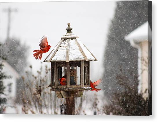 South Carolina Canvas Print - Cardinal In Flight by Adam Powell