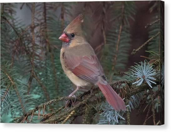 Cardinal In Spruce Canvas Print by John Kunze