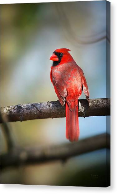 Cardinal In The Sun Of Spring Canvas Print