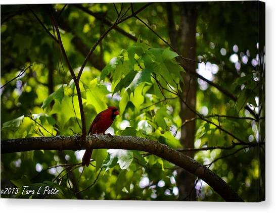 Cardinal In The Trees Canvas Print