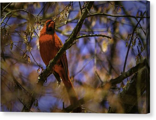 Cardinal In Waiting Canvas Print by Barry Jones