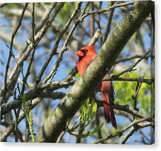 Cardinal  Canvas Print by James Hammen