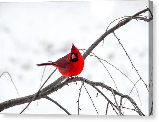 Cardinal On A Branch  Canvas Print