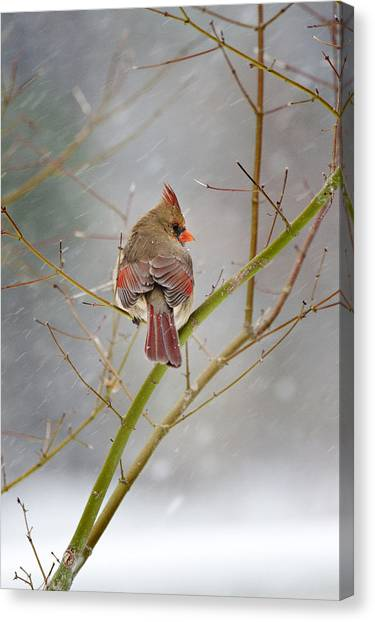 Cardinal On Maple Tree Canvas Print