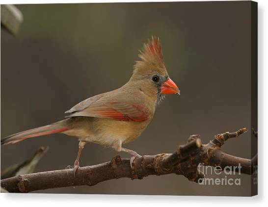 Cardinal Canvas Print by Russell Christie